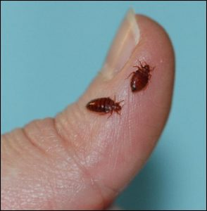 Bed+Bugs+on+Finger