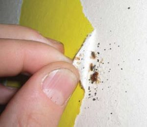 bed-bugs-inspection-wall-cavity
